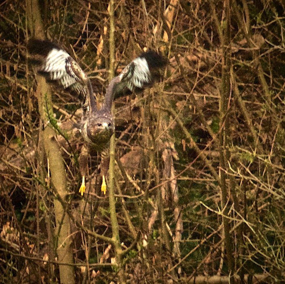 Photo in Random #hawk #birds #birdphotography #birdsinflight #nature #vogel