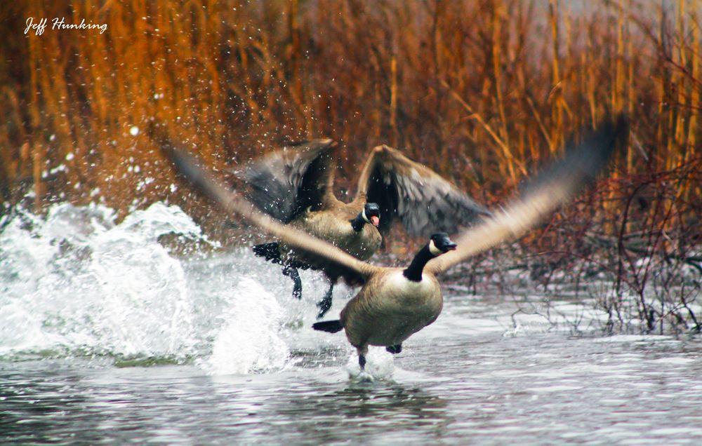Photo in Animal #geese #water #spring #wildlife #nature #ontario #sarnia