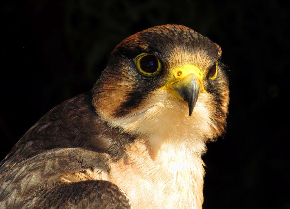 Photo in Animal #lanner falcon #lanner #falcon
