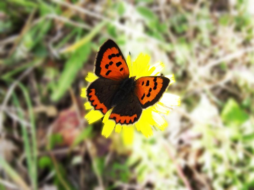 Photo in Macro #butterfly - macro #macro #butterfly #fly #kelebek #turkey #türkiye #çanakkale #balıkesir #edremit #kazdağları #ida #mountain #flowers #makro #photo