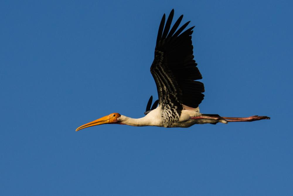 Photo in Animal #painted stork #bird #flying painted stork #bhigwan