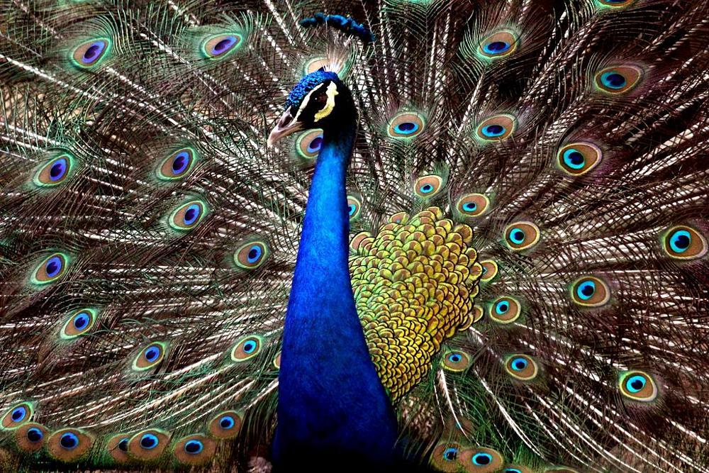 Photo in Nature #animals #aves #birds #peacock #cloudy #bandhavgarh #india