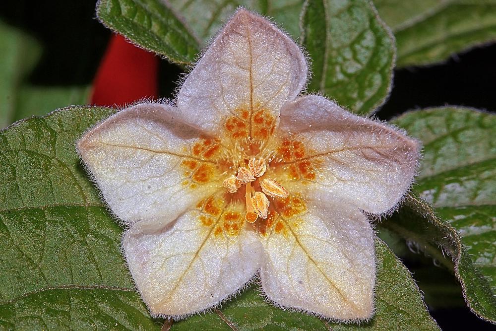 Photo in Macro #physalis alkekengi #macro #flower #nature #macro nature #tiny flower