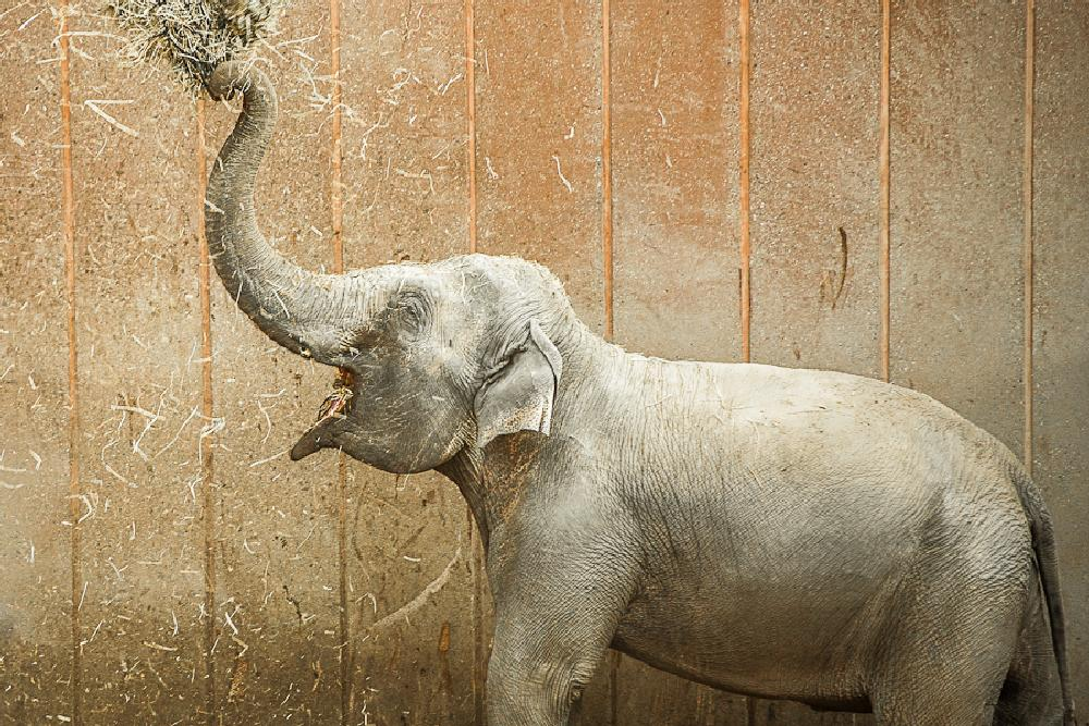 Photo in Animal #elephant #zoo #brown #happy #joy #denmark #danmark #copenhagen #animal #trunk #eye #play