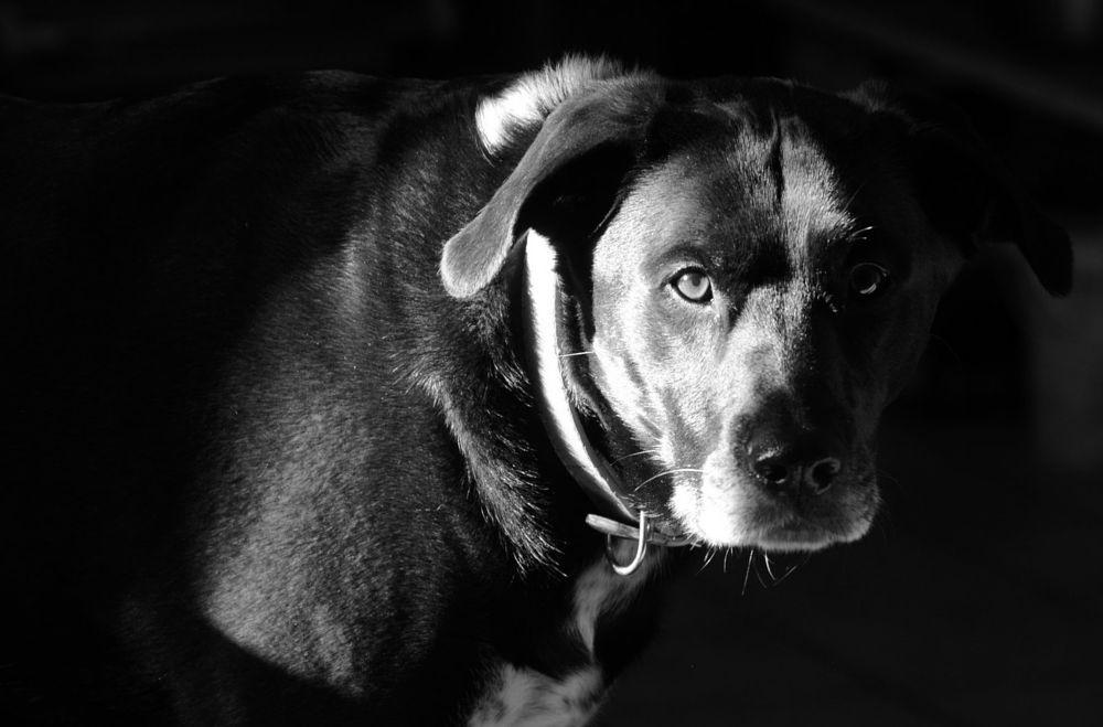 Photo in Animal #dog #big dog #crossbreed #black and white dog #black and white photo #animal