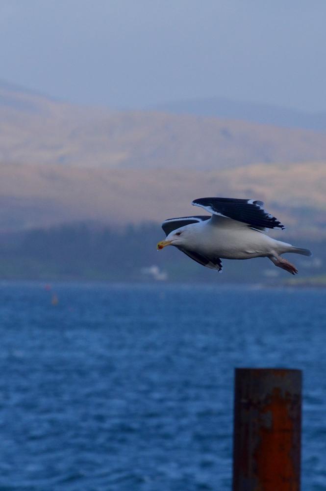 Photo in Random #great black-backed gull #bird in flight #sea #mountains
