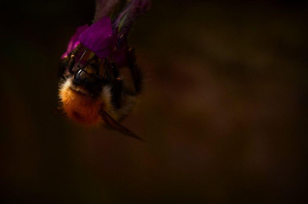 Photo in Nature #nikon #macro #nature #wildlife #insect #bee #bumble bee #flower #aubretia.