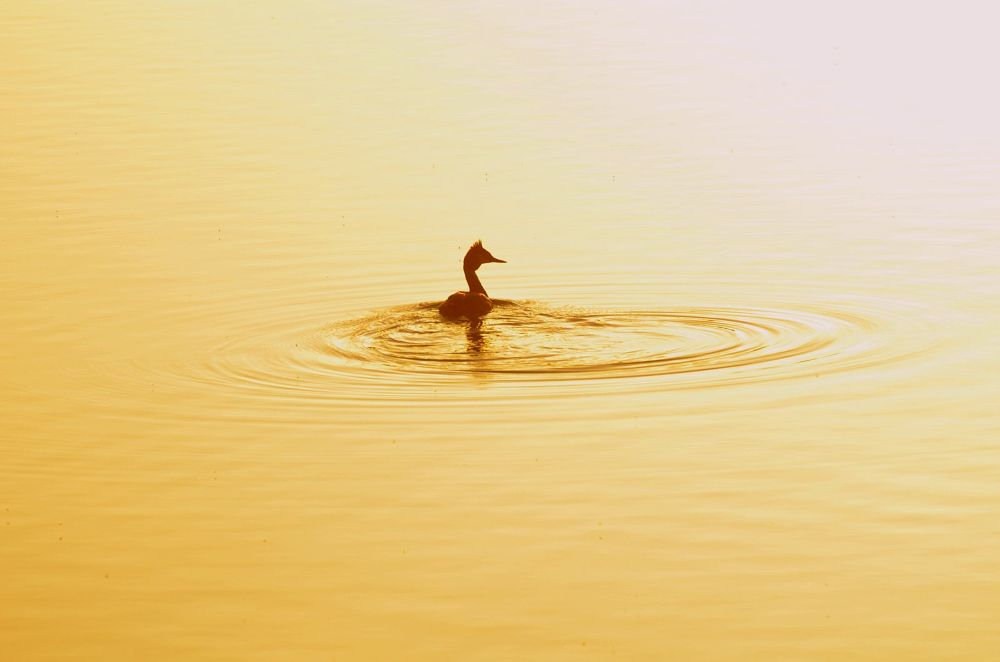 Photo in Nature #bird #crested grebe #water #sunset #nikon #nature