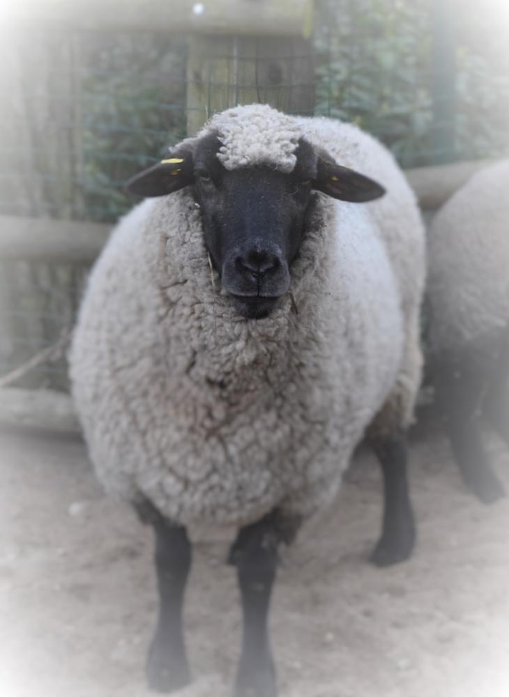 Photo in Animal #sheep