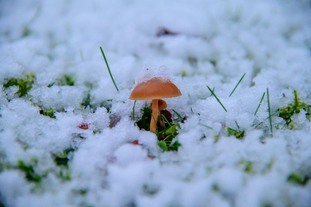 Photo in Nature #winter #erster schnee #pilz #snow mushroom