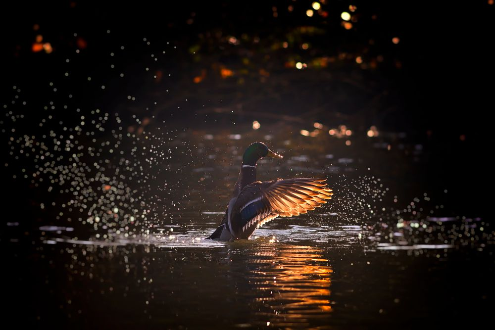 Photo in Animal #water #natural #wilde #bird #winter #lake #drops #color