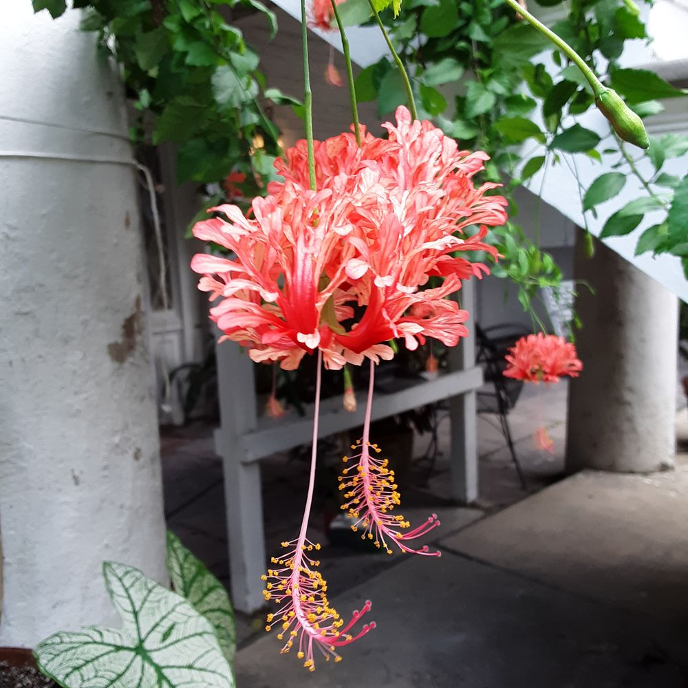 Photo in Nature #phlowerfotos #hibiscus #hibuscus schizopetalus #campanilla #cmb #broers