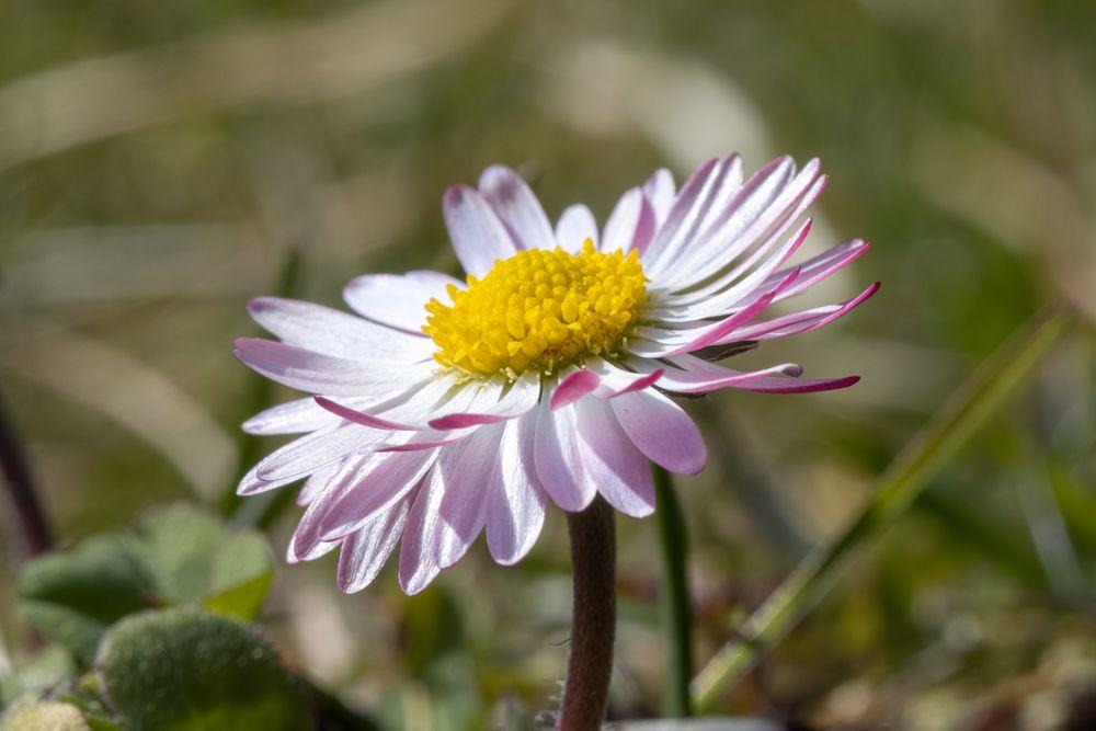 Photo in Macro #common daisy #gänseblümchen #bellis perennis #macro #natural