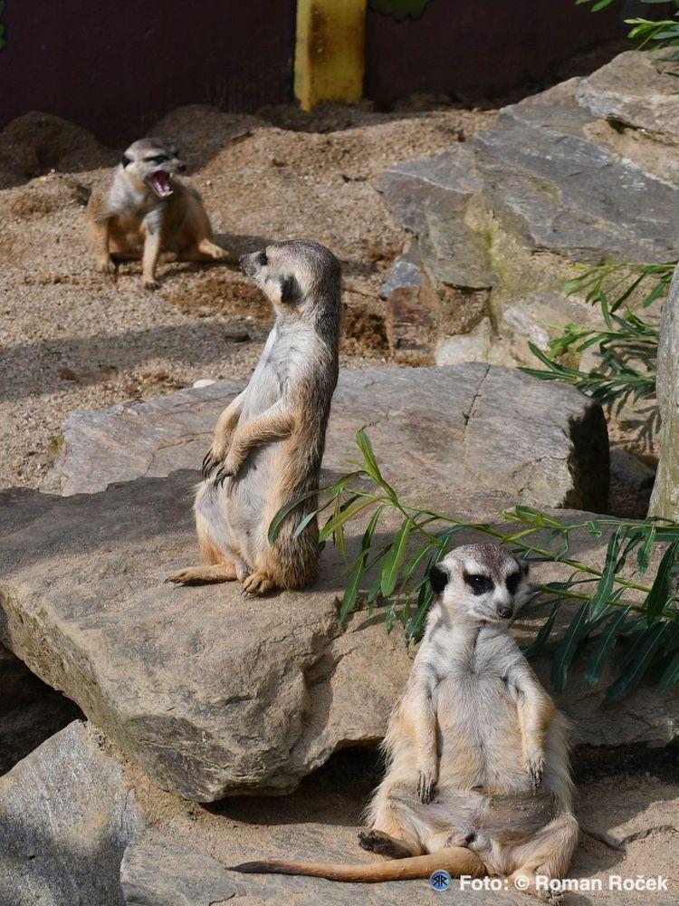 Photo in Animal #mongooses #animal #nature #zoo faunapark #lázně-lipová #olomouc region #jeseníky mountains #moravia #nikon