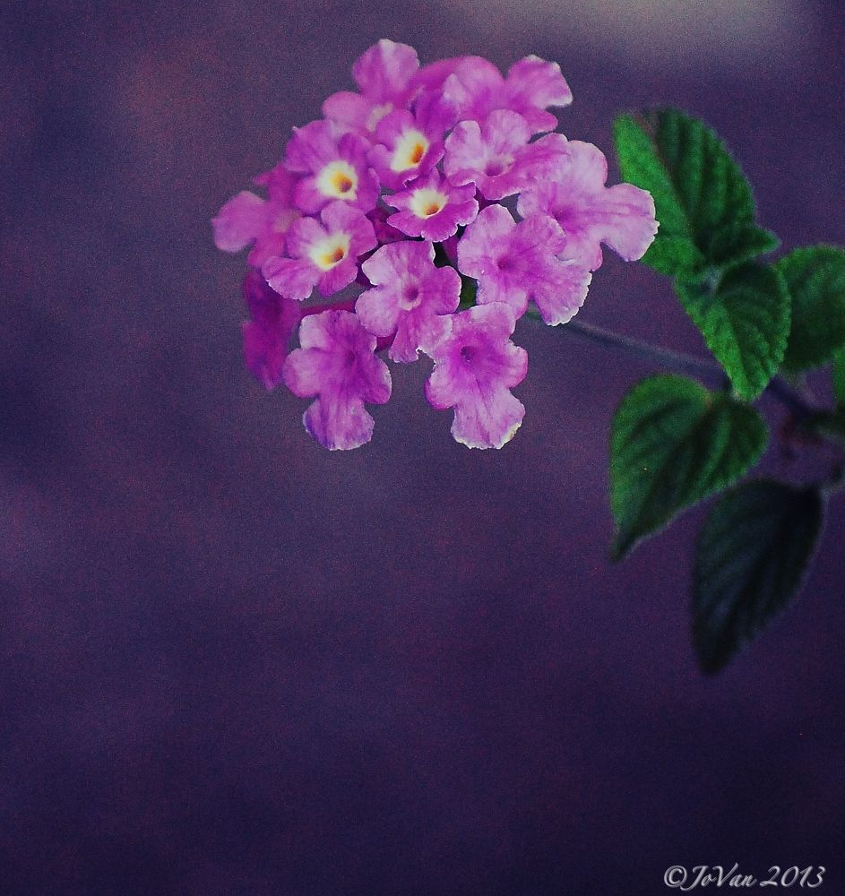 Photo in Random #lantana #purple #flora