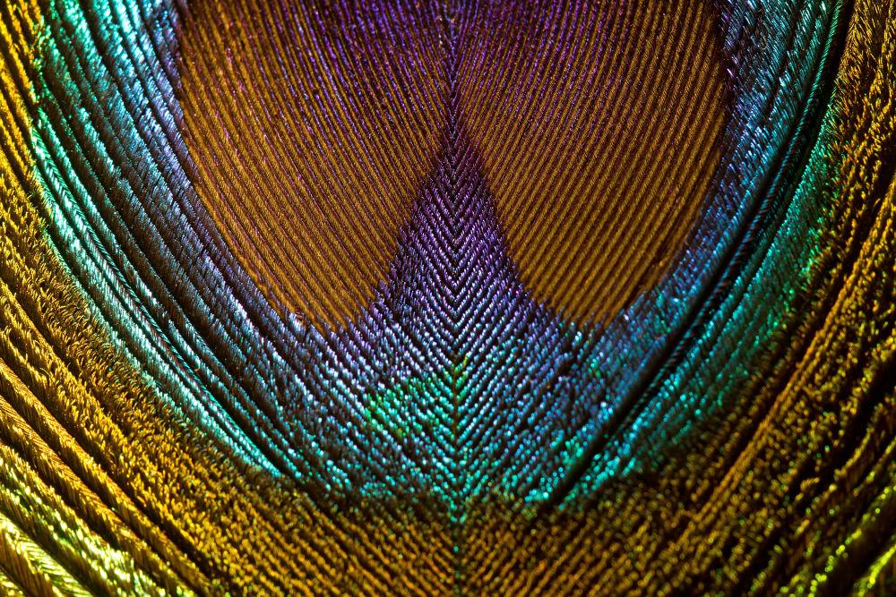 Photo in Random #peacock #pavo real #pluma #feather