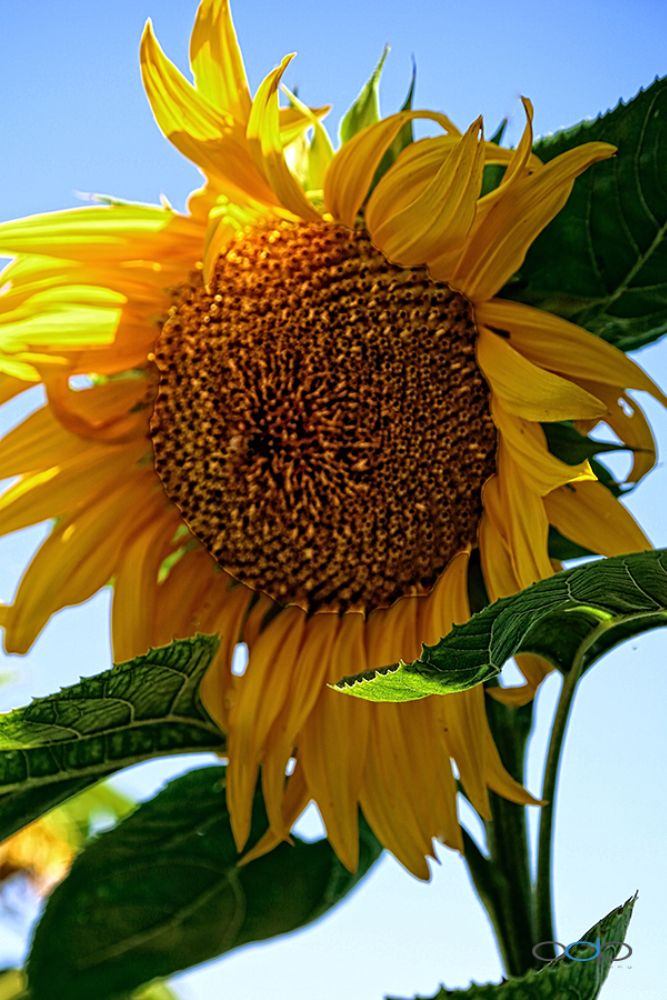 Photo in Nature #one digital place photography #flower #floral #sunflower #nature #landscape