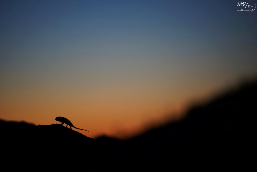 Photo in Animal #caméléon #chameleon #chamaeleo #spain #espagne #espana #commun #night #nuit