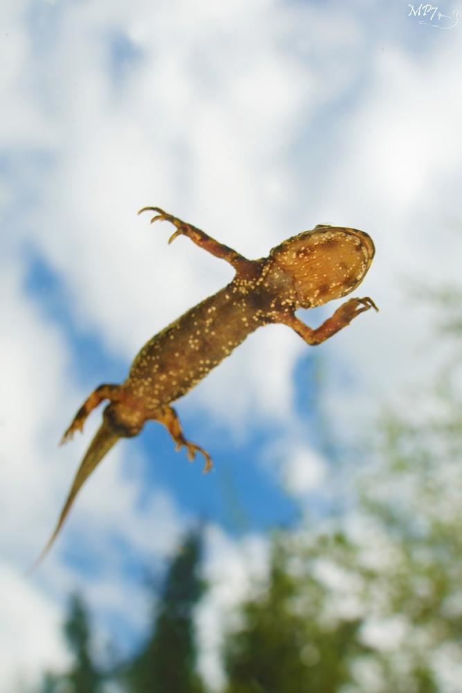Photo in Animal #amphibia #nature #amphibien #marbled #newt #triton #marbré #aquatic #aquatique #triturus #marmoratus