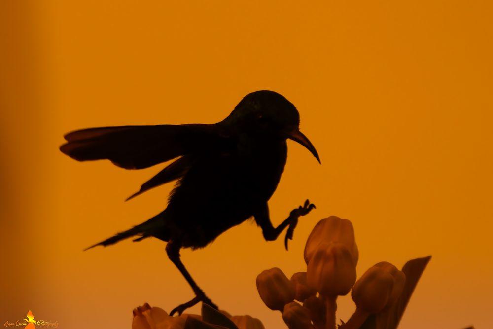 Photo in Animal #india #wildlife photography #nature #animal #bird #purple sunbird #canon eos #sigma #lens #bird wings #latest
