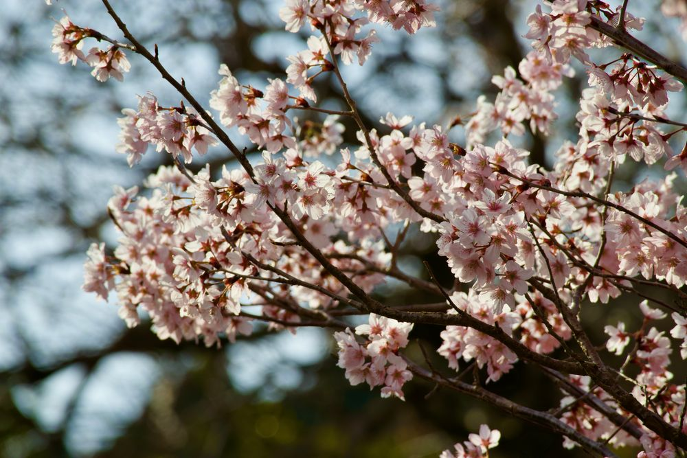 Photo in Nature #sakura #cherry blossoms #countryside #flowers #japan #spring
