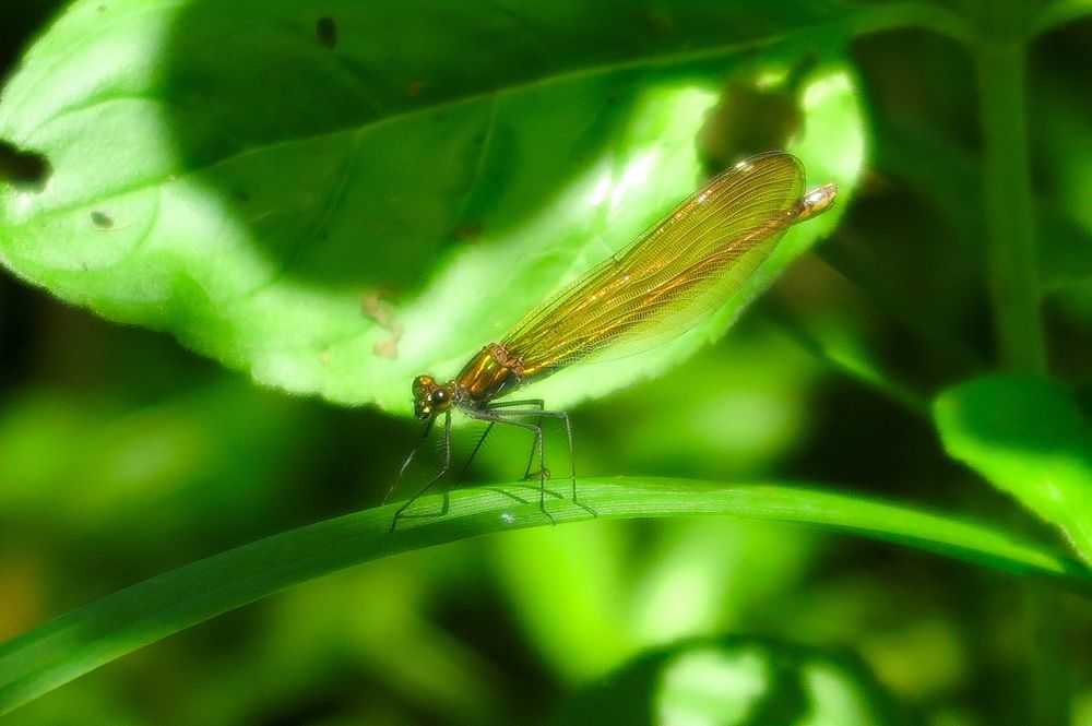 Photo in Animal #dragonfly #calopteryx #close-up