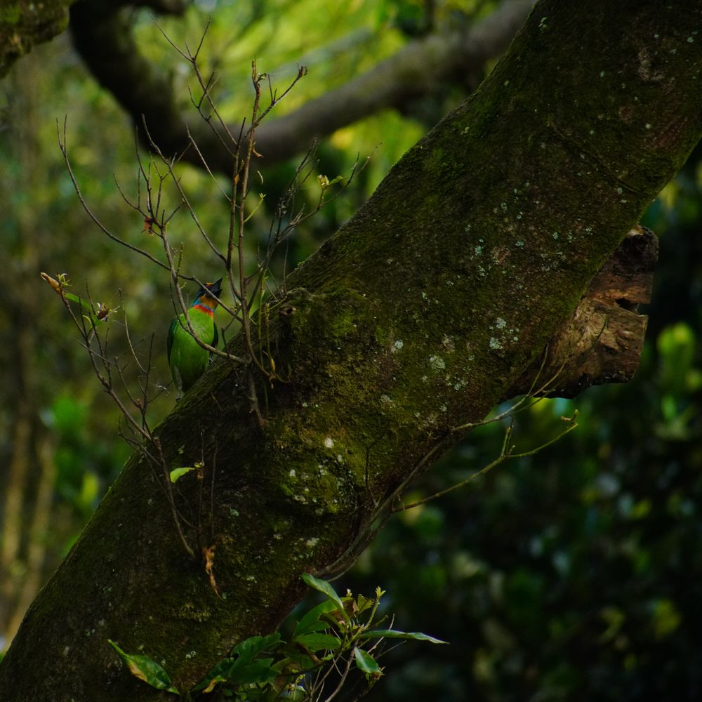 Photo in Nature #taiwan barbet #nuan nuan #keelung #taiwan only