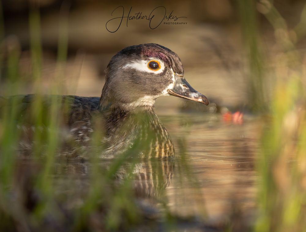 Photo in Random #duck #purple #waterfowl #sony #wood duck #women in wildlife photography