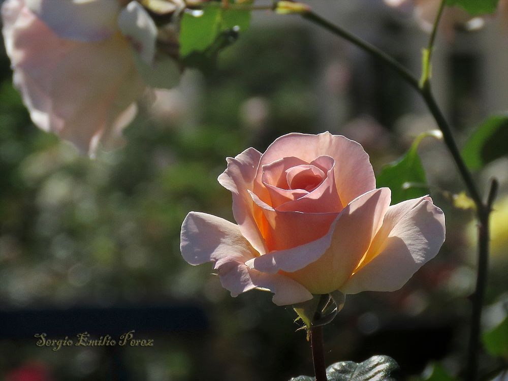 Photo in Nature #flower #rose #garden #bloom #blossom #petals