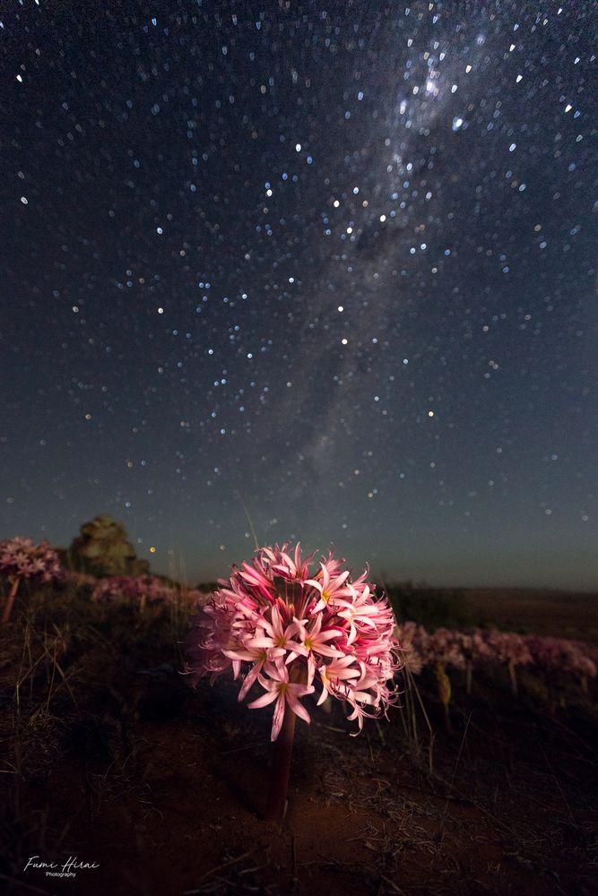 Photo in Nature #flower #brunsvigiabosmaniae #stars #milkyway #southerncross #pink