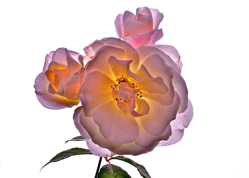 Photo in Macro #flower #rose #drops