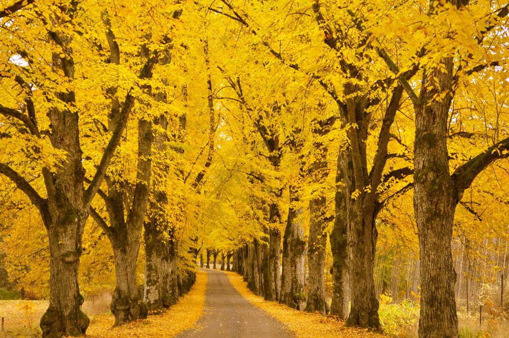 Photo in Nature #fall #tree #yellow #sweden2017