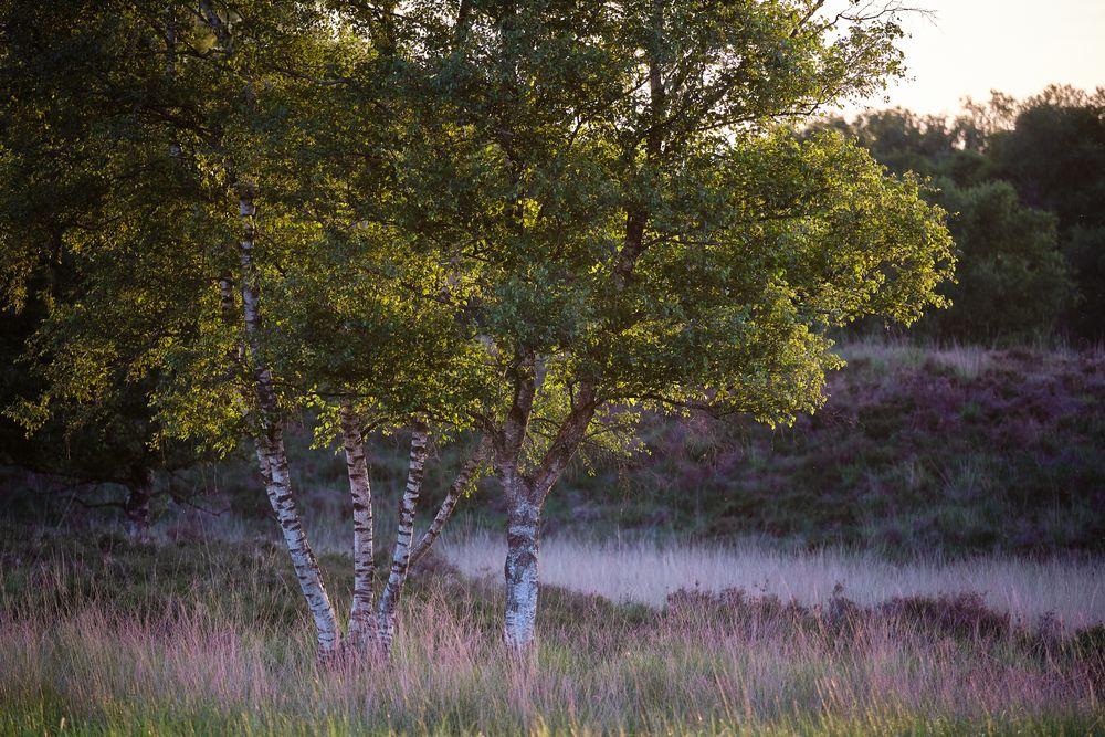 Photo in Nature #birch #tree #nature #heather #gasterense duinen #nederland #netherlands #green #trees
