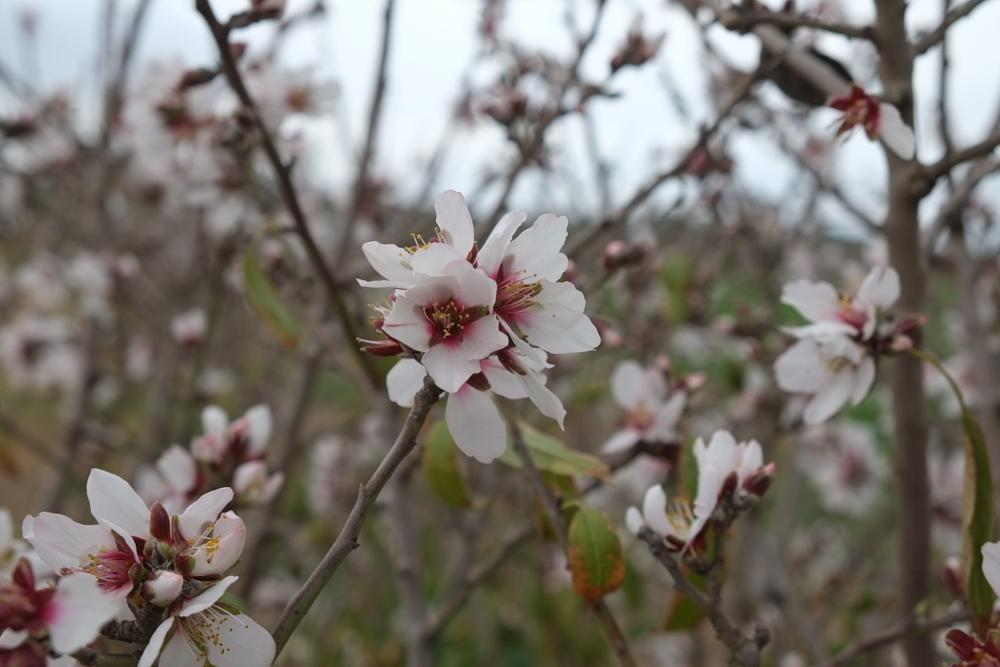 Photo in Nature #almond treebloom