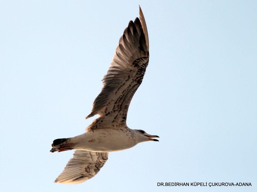 Photo in Animal #gull #bird #animal #nature #bed #bedir #bedirhan #outdoor #canon #ornito #fly #glide #gliding #wild #wildlife