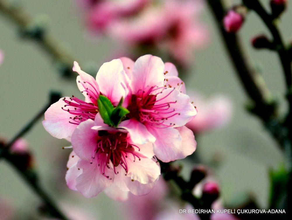 Photo in Nature #pink #flower #spring #nature #bed #bedir #bedirhan #outdoor #canon