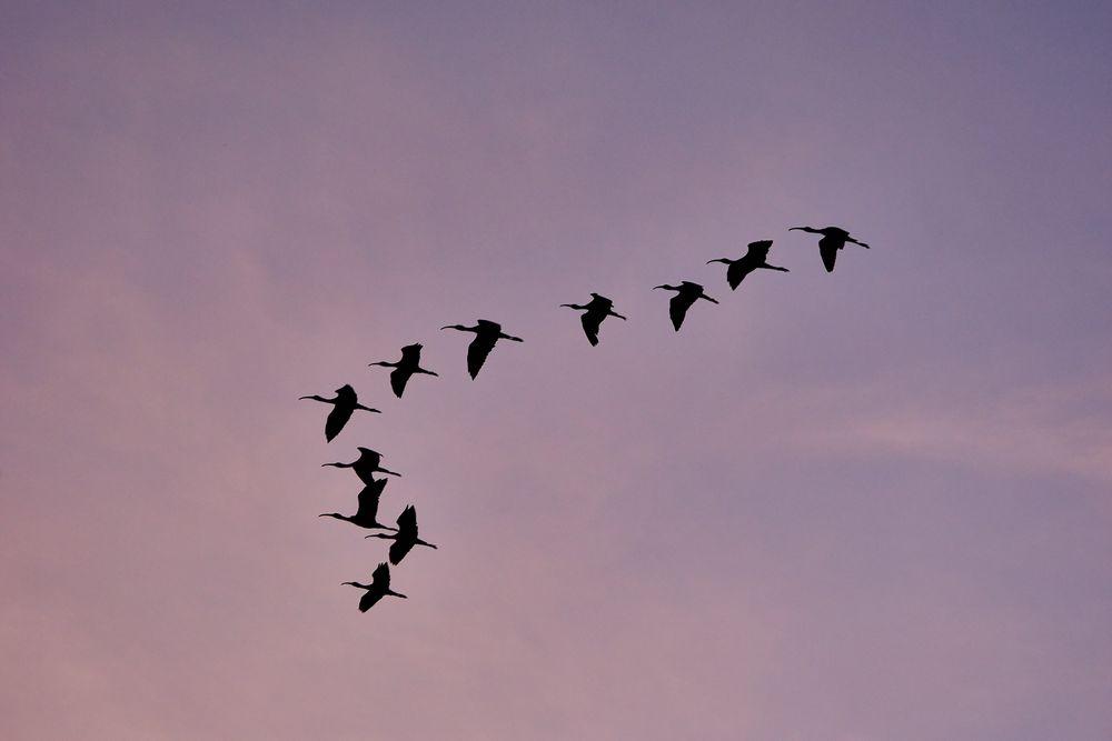 Photo in Random #birds #bird #flock #ibis #sunset #sky #nature #outdoors #beautiful