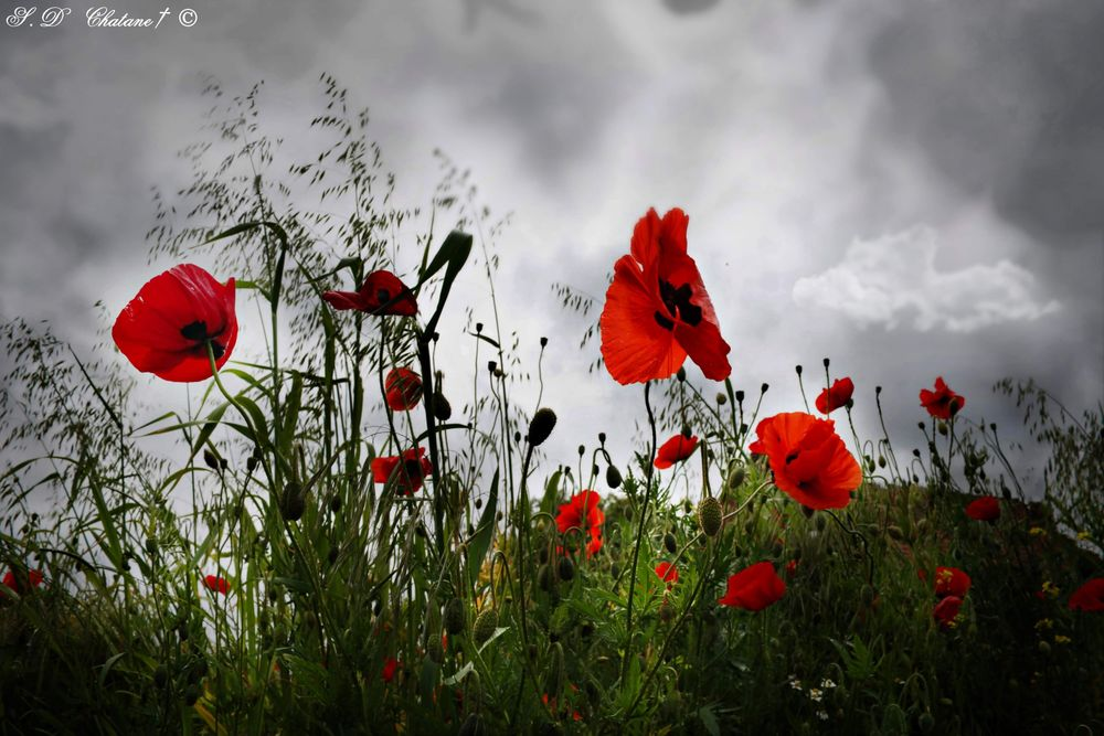 Photo in Nature #poppies #coquelicots #nture #fleurs #flower #blumen #storm