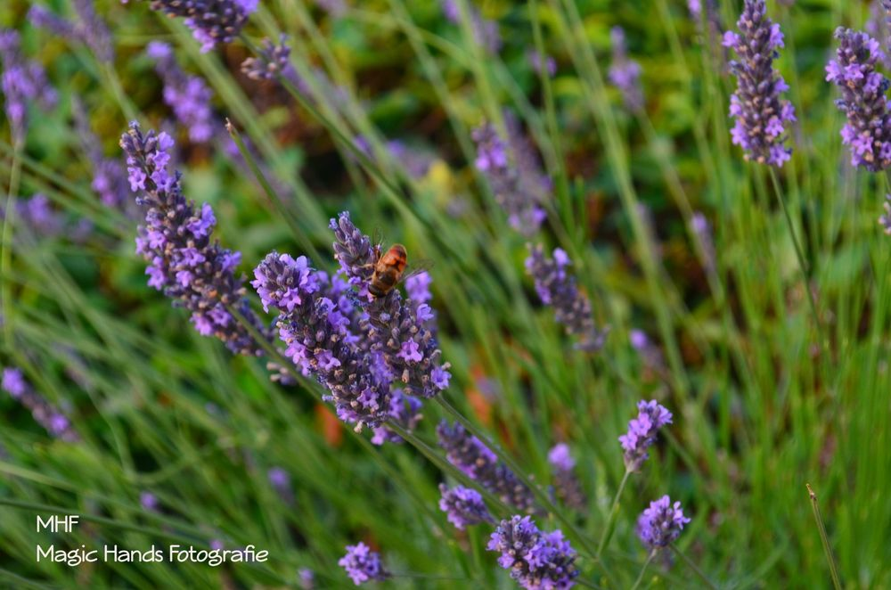 Photo in Random #purple lavender insect mhf