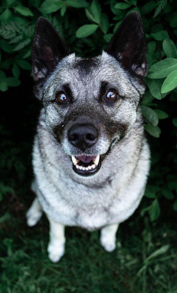 Photo in Animal #dog #elkhound #norwegian elkhound #animal #norway