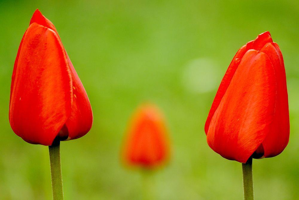 Photo in Nature #tulips #garden #spring #flowers