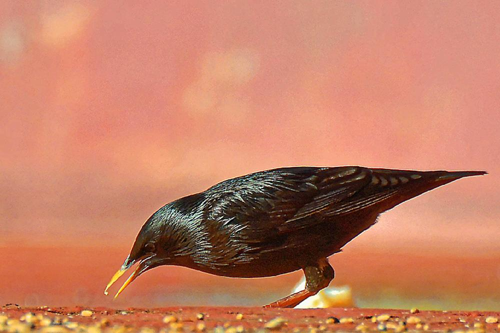 Photo in Animal #étourneau #oiseau #nature