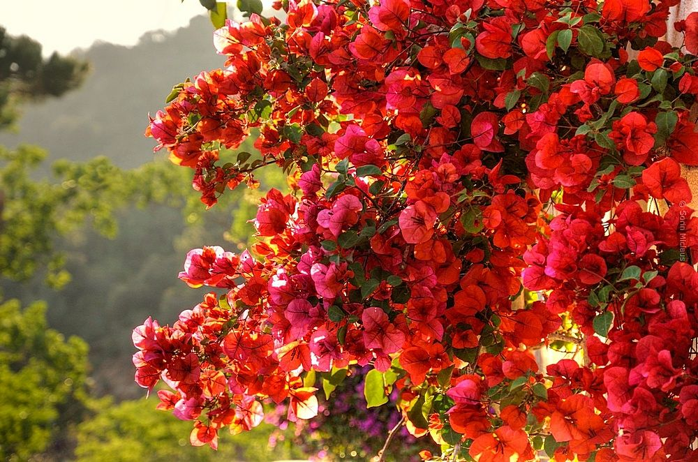 Photo in Nature #color #vivid #flowers #red #purple #green #sunset #light
