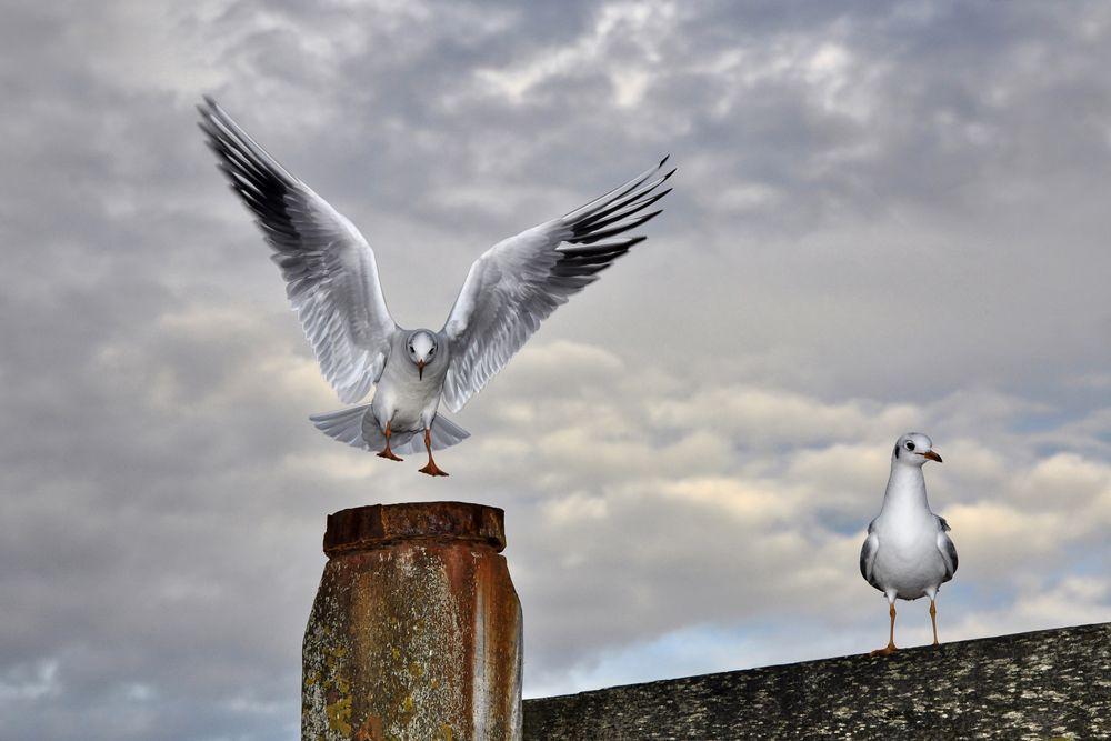 Photo in Nature #bird #gull #flight #plumage #seaside #sky #nature #wildlife