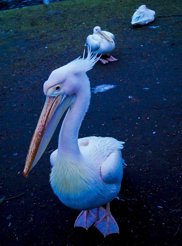 Photo in Animal #pelican #animal #park #lake #london #nature