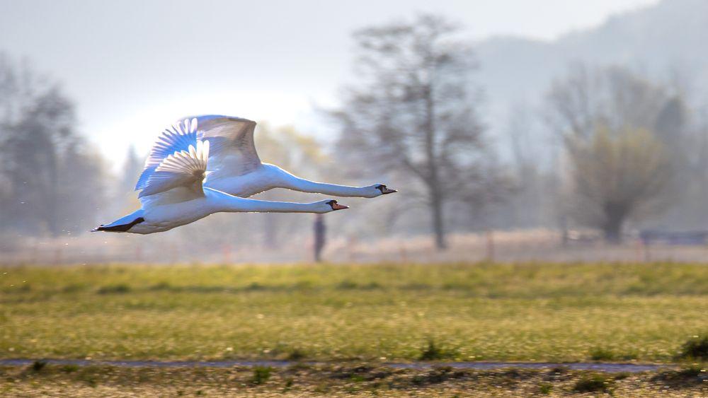 Photo in Animal #swan #bird #outdoor #animals #nature #beautiful nature #patrouille suisse #switzerland #dionysius photography #photo #landscape