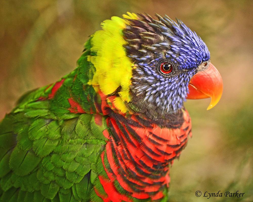 Photo in Nature #bird #lorikeet #nature