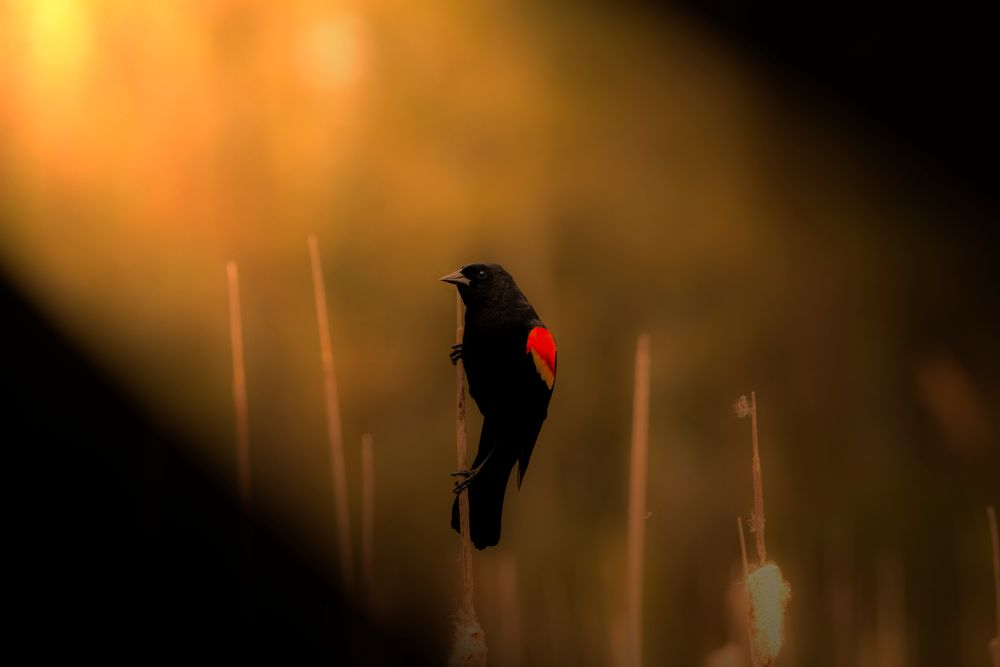 Photo in Animal #evening #bird #black bird #red winged #nature #animal #cute #dof