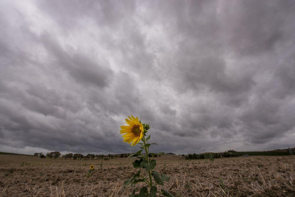 Photo in Landscape #clouds #sunflower #tournesol #france