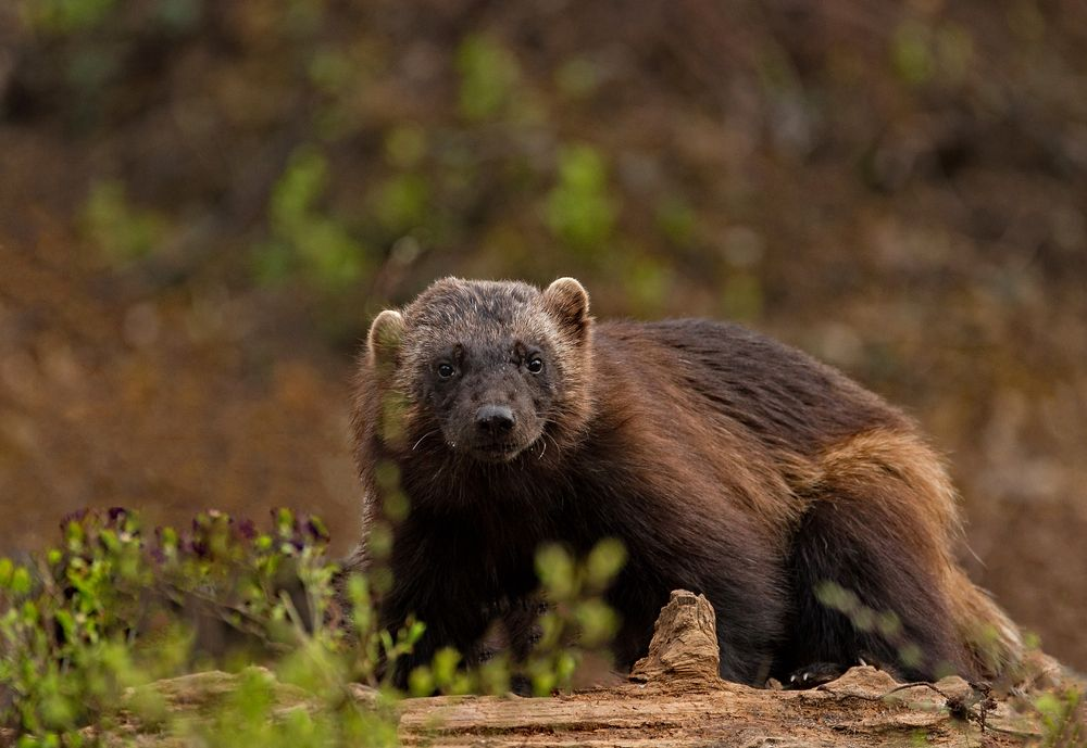 Photo in Animal #wildanimal #wolverine #nature #animal #wilderness